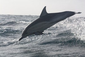 Common Dolphin July 2014 VH Lance Gray